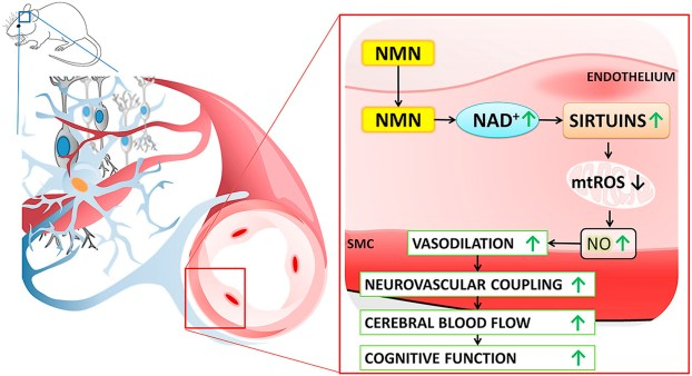 NMN improves cerebral vascular function and cognition in mice