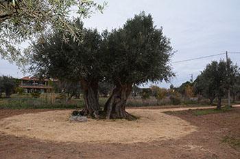 oliveira 350