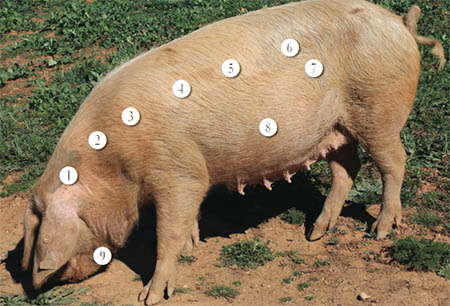 porco bísaro 450