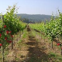 Plantação e fertilização da vinha