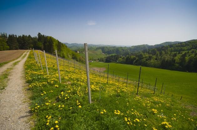 Wineyard full of blooming dandelions (explored)
