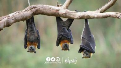 خبر مرعب وصادم.. «كورونا» جديدة في الخفافيش قد تصيب البشر !