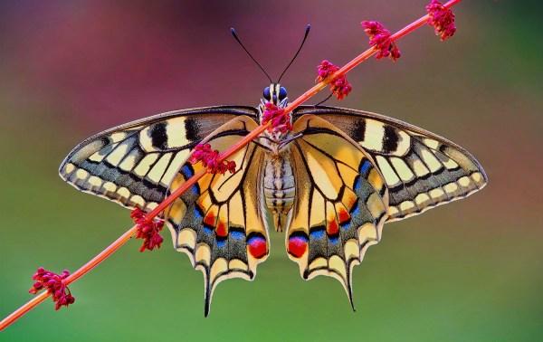 Butterfly Wing Symmetry ALK3R