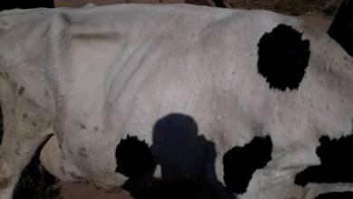 "Photo of الصحة الحيوانية بالحسكة تدعو المربين لتحصين أبقارهم ضد مرض ""الكتيل"""