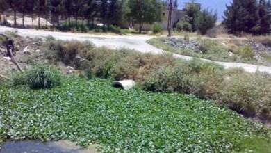 Photo of الشيطان الجميل (زهرة النيل) تهدد الزراعة في حماة