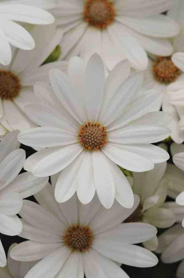 Osteospermum Akila® Daisy White F1 | All-America Selections