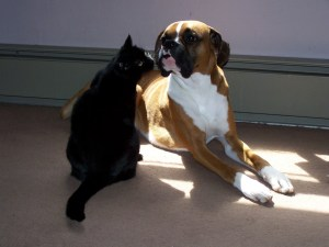 Shady the cat sniffing Dash the Boxer as he lies in the sun.