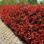 Red-Tip Photinia