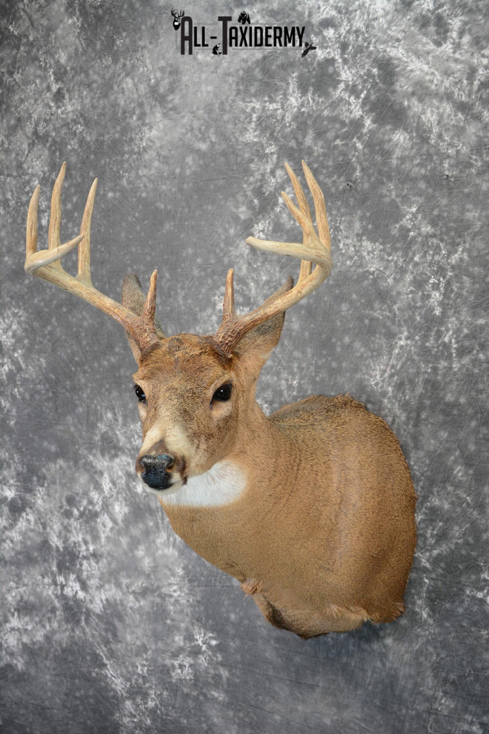 Whitetail Deer Taxidermy Mount For Sale Sku