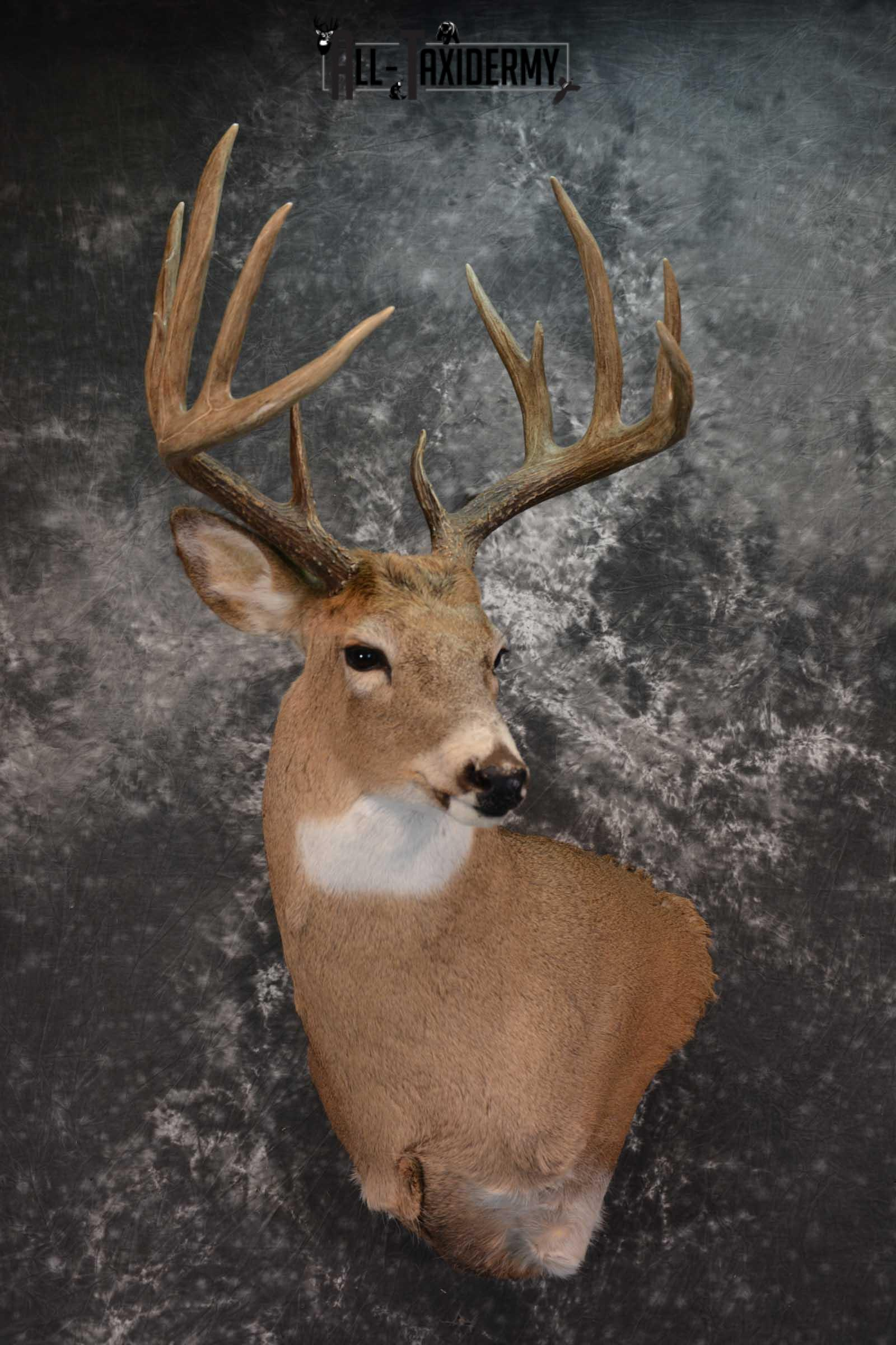Whitetail Deer Shoulder Mount Sku