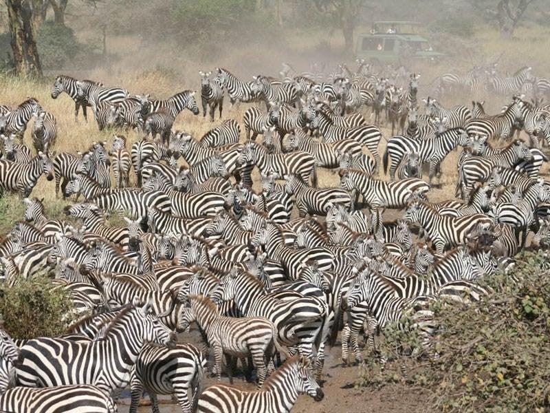 Amazing Natural Events Serengeti Zebras