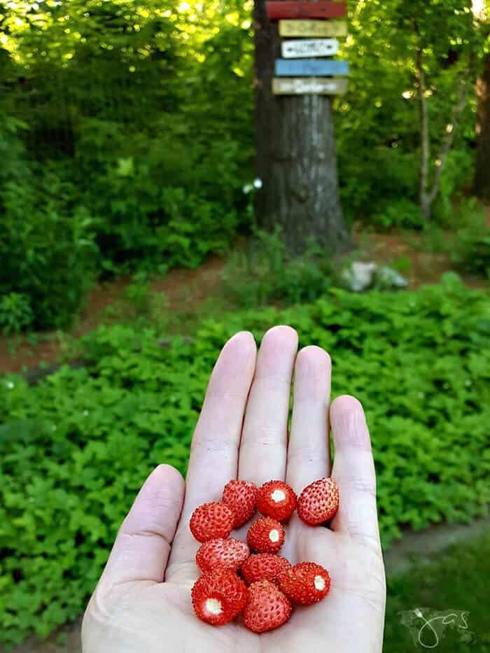 Delicious musk strawberries used in frozen yogurt recipe