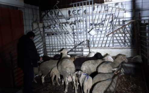 5 כבשות ו- 7 טלאים: נעצרו 2 ערבים החשודים בגניבת 12 כבשים מהכפר ראמה שבצפון