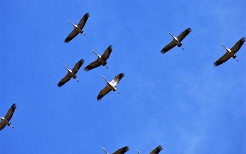 אלפי עגורים נתקעו בישראל עקב 'פקק' • צפו