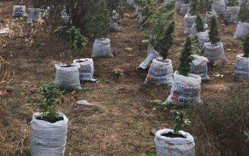 תושב צפת ותושב הכפר כמאנה בני 22 נעצרו בחשד לגידול סמים בשדה סמוך לישוב עבדון