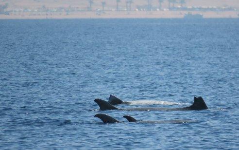 מפרץ אילת לא מפסיק להפתיע ולהלהיב: תיעוד נדיר ומרהיב של להקת דולפינים מסוג גרמפוס