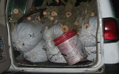 """בעל ואישה מעראבה נעצרו בחשד לגניבת 300 ק""""ג זיתים מהמטעים של כפר קיש"""