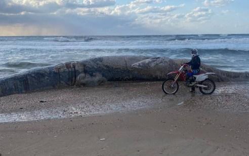 בעקבות זיהום זפת: גופת לוויתן בגודל 10 מטר נפלטה אל חוף ניצנים