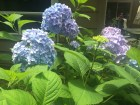 Different color hydrangeas on the same bush