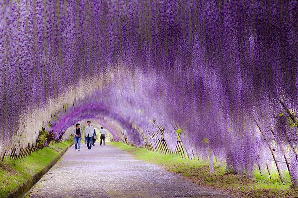 allabout.gr Απίστευτα μέρη Wisteria, σήραγγα λουλουδιών, Ιαπωνία Wisteria Flower Tunnel in Japan