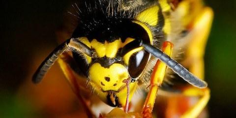 Σφήκες Wasp allabout.gr