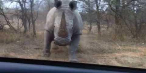 Ρινόκερος επιτίθεται