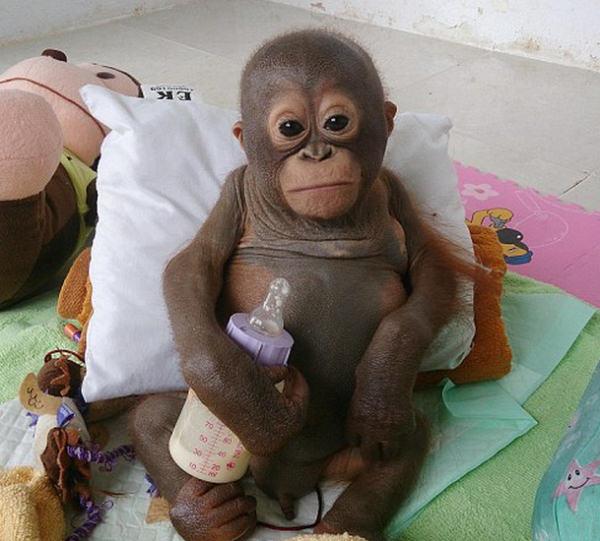 μωρό ουρακοτάγκος