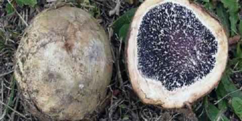 καλλιέργεια τρούφα