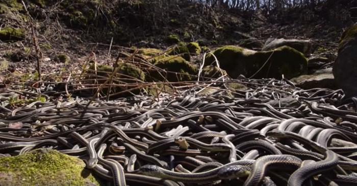 75.000 φίδια ξυπνούν στο ίδιο σημείο