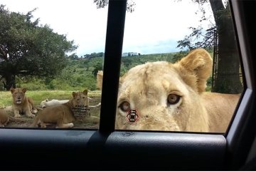 Πήγαν για σαφάρι και αυτό το λιοντάρι έκανε κάτι