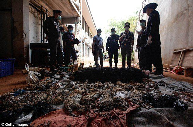 κουφάρια από τίγρεις βρέθηκαν σε δημοφιλή ναό της Ταϊλάνδης 10