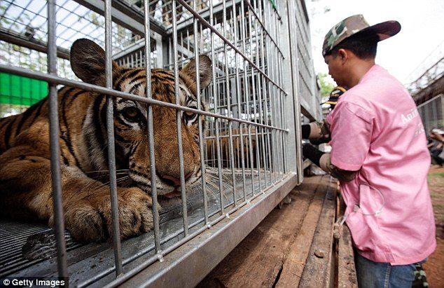 κουφάρια από τίγρεις βρέθηκαν σε δημοφιλή ναό της Ταϊλάνδης 14
