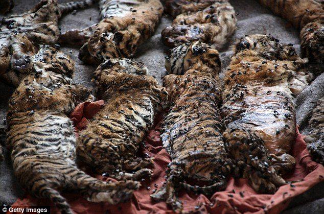 κουφάρια από τίγρεις βρέθηκαν σε δημοφιλή ναό της Ταϊλάνδης 4
