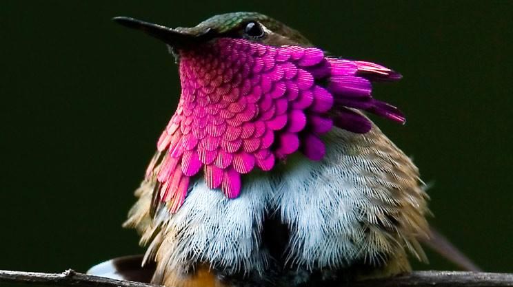 Wine-Throated Hummingbird (Atthis ellioti)