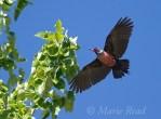 Lewis's Woodpecker (Melanerpes lewis)