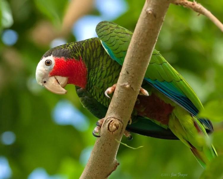 Cuban amazon (Amazona leucocephala)