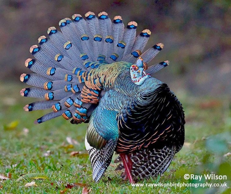 ocellated turkey (Meleagris ocellata)