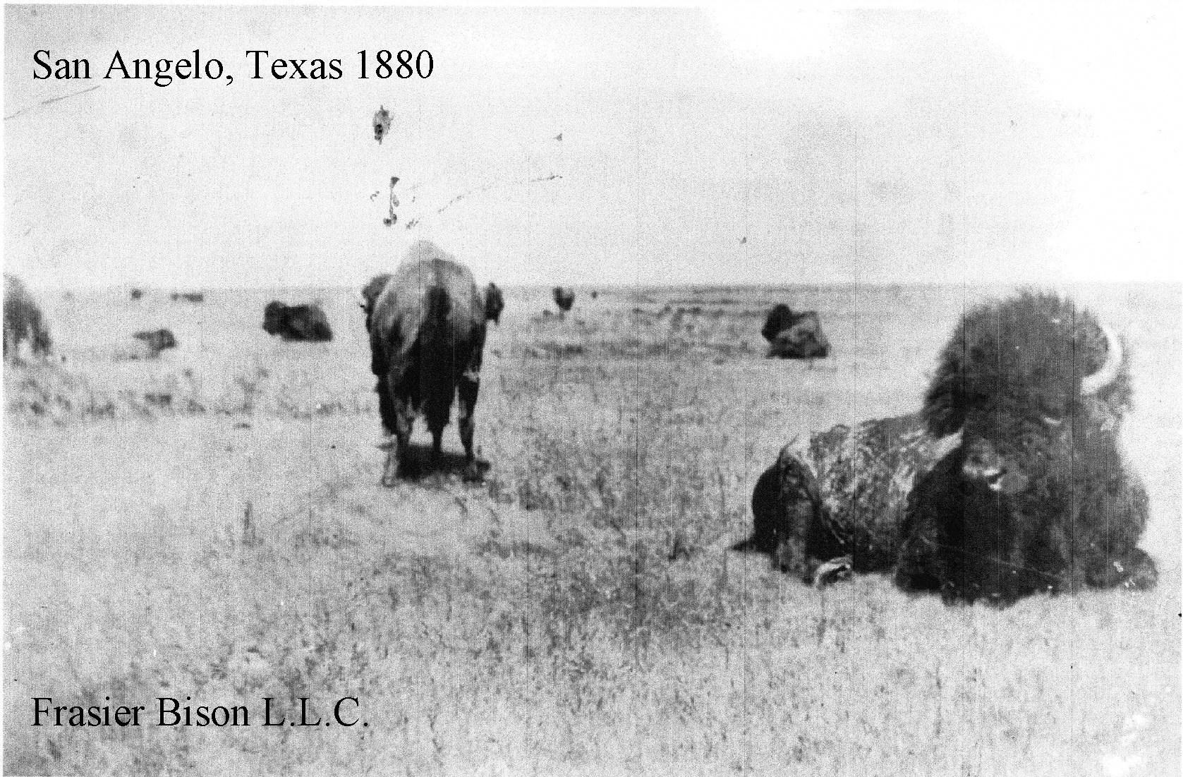 The Plains Bison Hunt Essay Custom Paper Sample