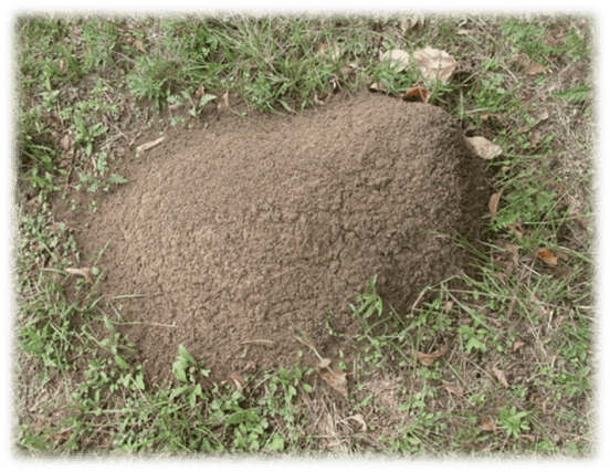Imported-Fire-Ant-Mound-in-Sevierville-Tennessee