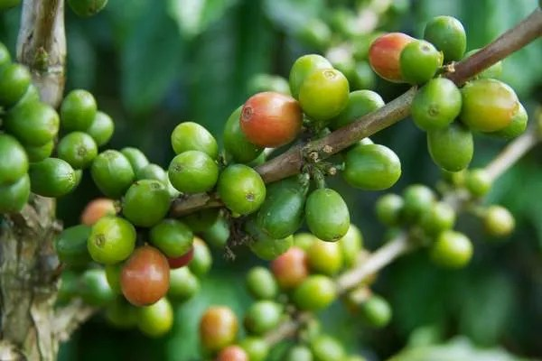 кофе в Камбодже
