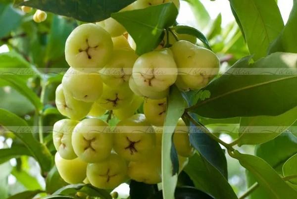 фрукты камбоджи