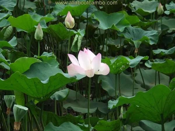 флора камбоджи