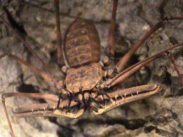 опасные пауки в Камбодже