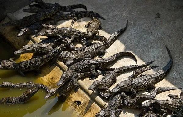 экскурсия на крокодиловую ферму камбоджа