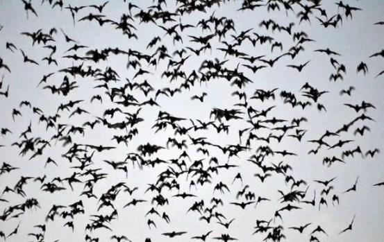 летучие мыши Камбоджи