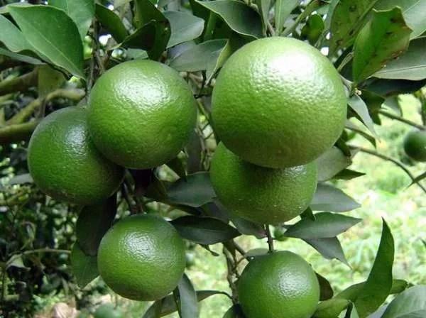 апельсины в Камбодже
