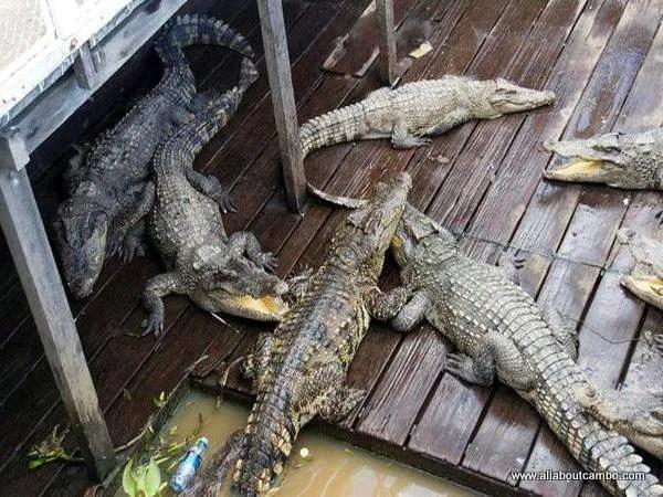 крокодиловые фермы на Тонлесап
