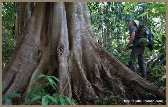 02-деревья камбоджа