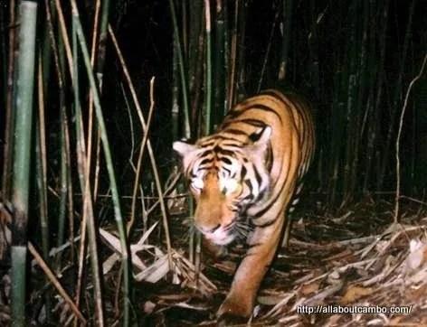 11-Tiger VNP
