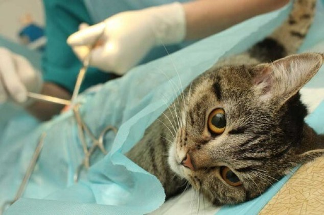 Gato recibiendo tratamiento de veterinario
